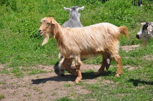 goats  pasture attitude  romania
