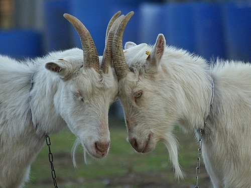 goats  intimacy  tenderness