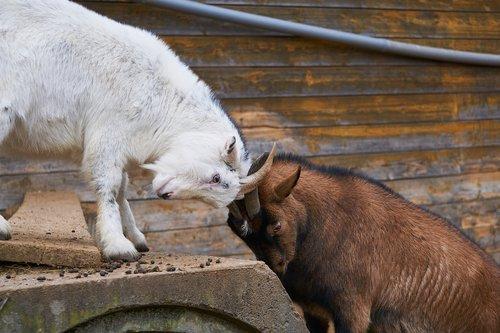 goats  fight  deals