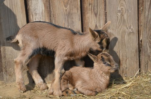 goats animals young animals