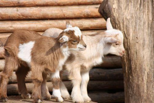 goats babies wildlife park