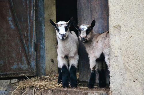 goats animals backyard