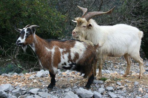 goats animals wild