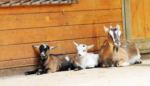 goats relaxed family