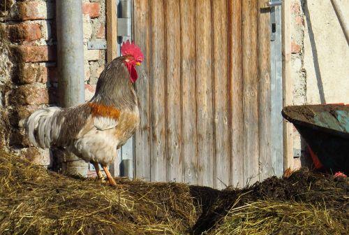 gockel hahn chickens