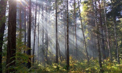 light forest the sun's rays