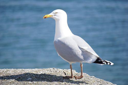 Seagull On Ground