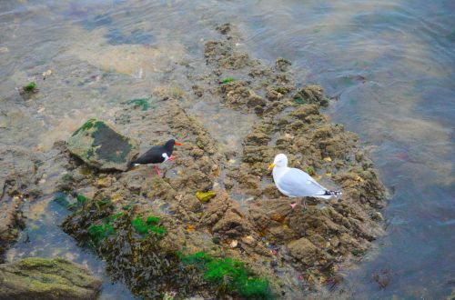 Gull And Oystercatcher