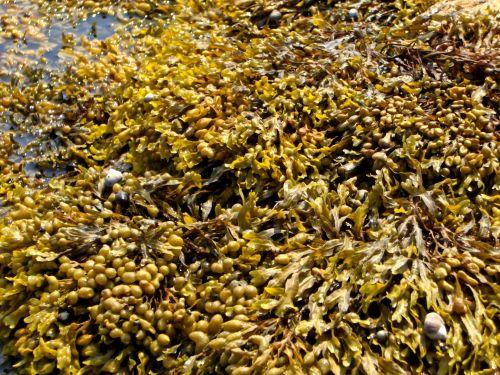 Seaweed (1)