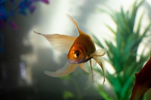 gold  fan tail  fish