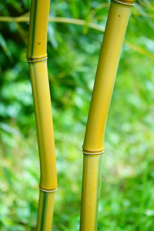 gold bamboo tube stalk green