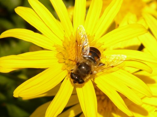 gold eye daisy yellow strauchmargerite argyranthemum frutescens