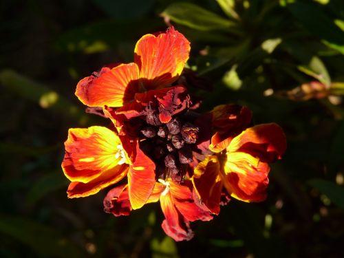 gold lacquer cruciferous ornamental plant