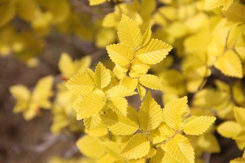 gold-leaf elm gold elm