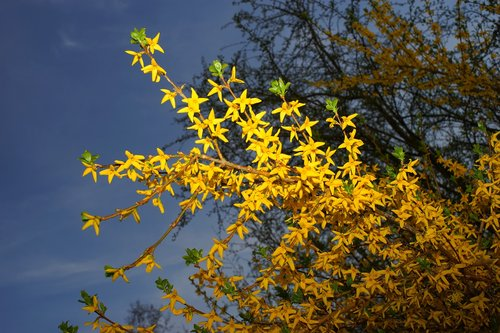 gold lilac  forsythia  branches