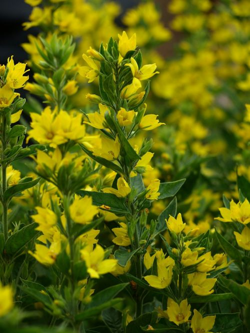 gold-loosestrife yellow flowers