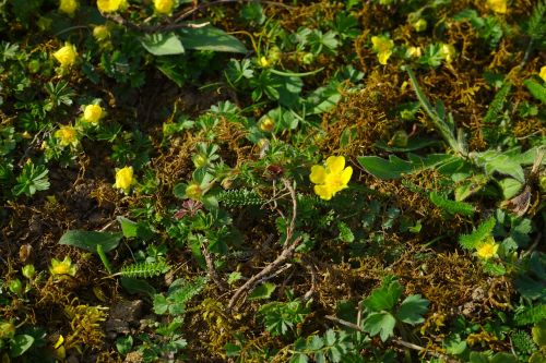 gold strawberry ground cover flower