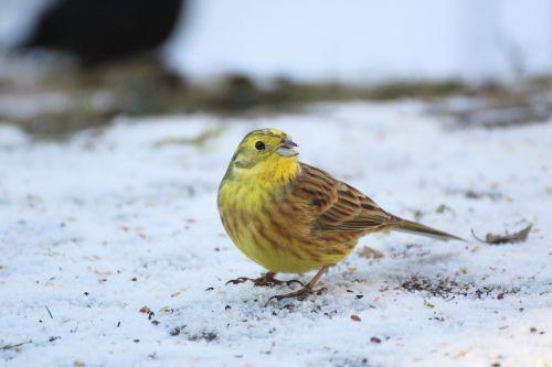goldammer bird winter