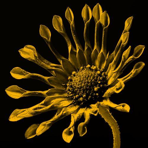 Golden African Daisy