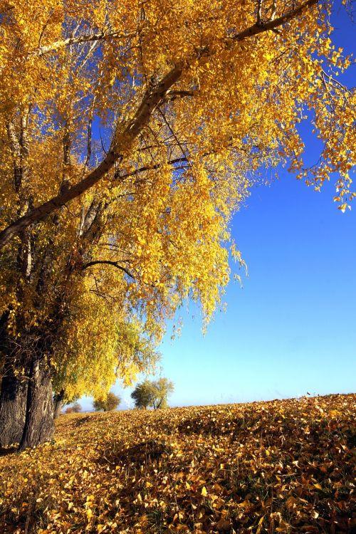 aukso ruduo,medis,gamta,geltona,rudens lapai,rudens miškas,dangus,rudens gamta,saulėtas,gyvoji gamta,mėlynas,kraštovaizdis,šviesus