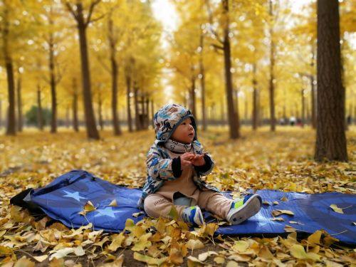 golden autumn ginkgo park