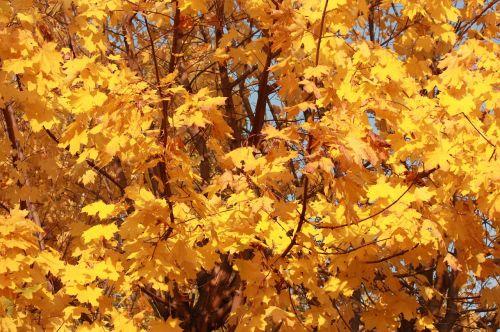 golden autumn golden maple listopad