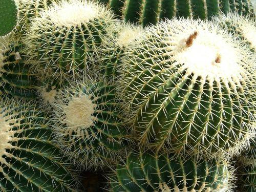 aukso kaktusas kaktusas,kaktusas,kaktusas šiltnamius,echinokaktumas,paskatinti,dygliuotas,augalas,žalias,echinocactus grusonii