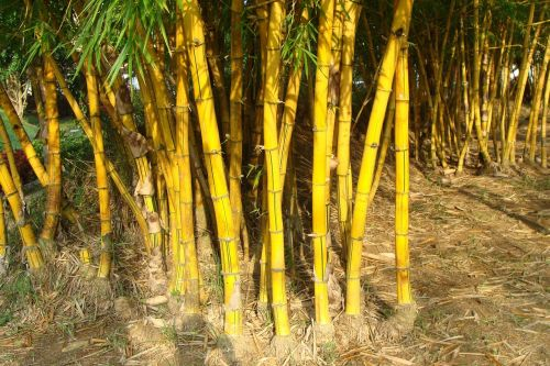 golden bamboo striped bamboo bambusa vulgaris