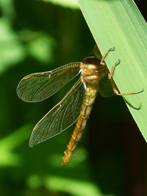 golden dragonfly sympetrum meridionale leaf