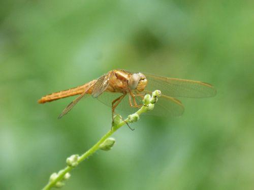 golden dragonfly sympetrum meridionale stem