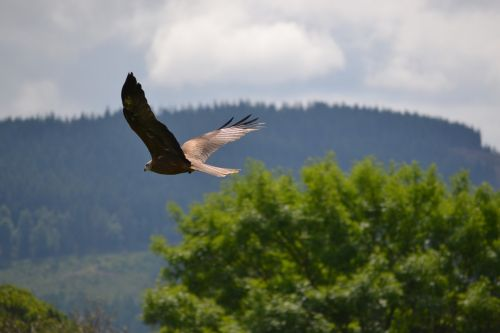 golden eagle flying trees