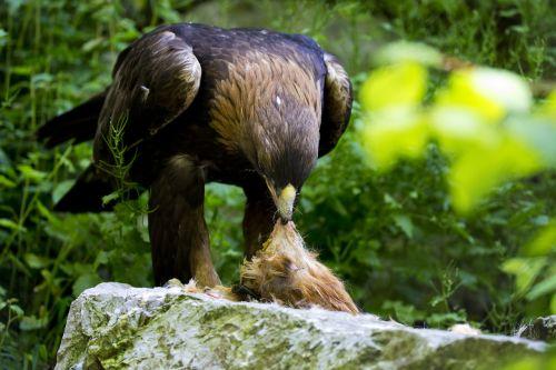 golden eagle time to eat feeding