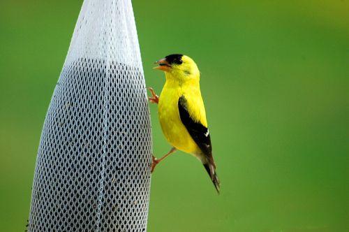 golden finch bird avian