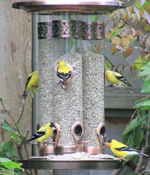 golden finch bird feeder eating