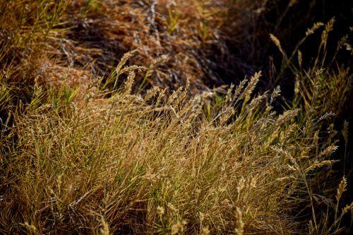 Golden Grass Dusk