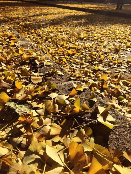 golden leaves autumn glorious