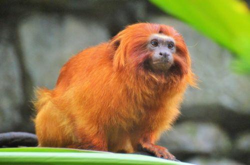 golden lion tamarin monkey primate