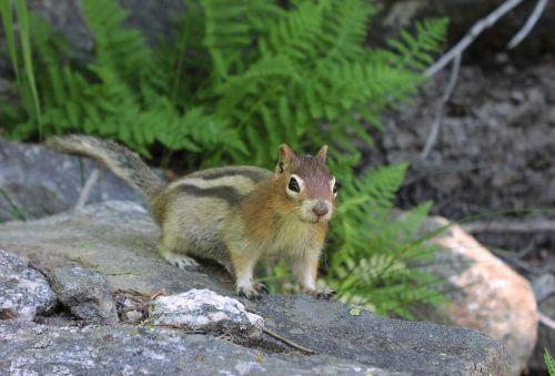 golden mantled ground squirrel rodent fur