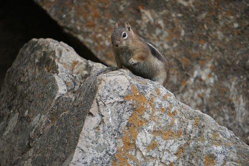 golden-mantled ground squirrel  colorado  wilderness