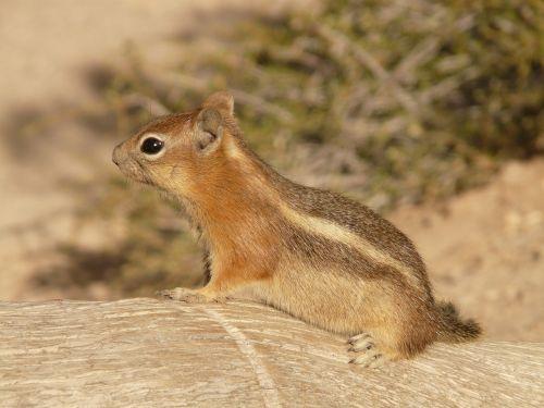 golden mantled ground squirrel spermophilus lateralis croissant
