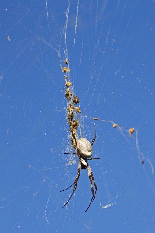 golden orb spider spider australia
