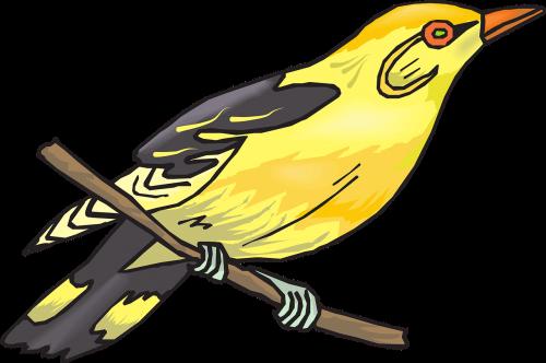 golden oriole yellow bird