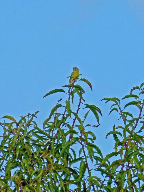 golden oriole almond tree bird