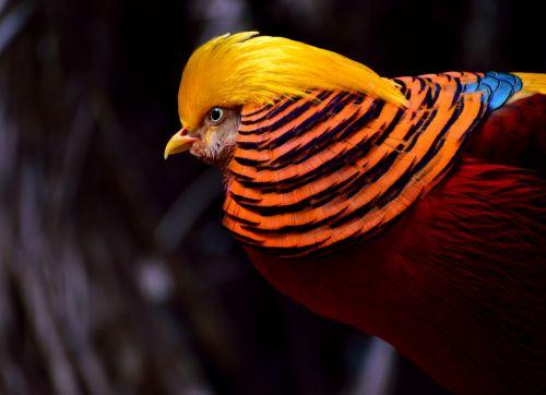 golden pheasant pheasant bird