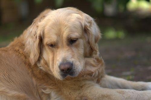 golden retriever dog pet