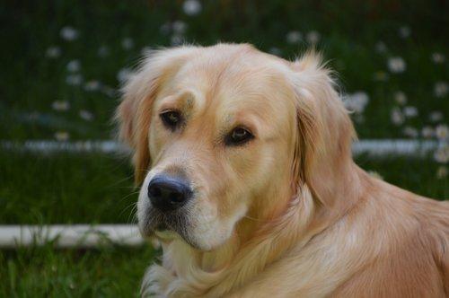 golden retriever  purebred dog  young