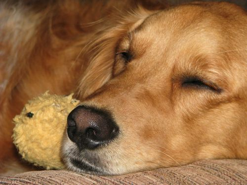 golden retriever dog sleeping