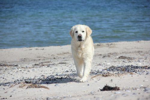 golden retriever dog animal