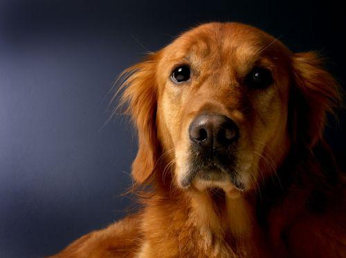 golden retriever dog retriever