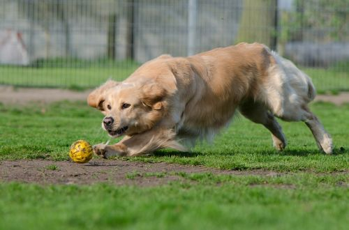 golden retriever ball ball junkie